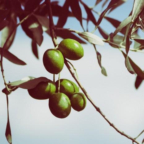 بالصور الاسم العلمي لاوراق الزيتون لشجرة الزيتون 20160626 1332
