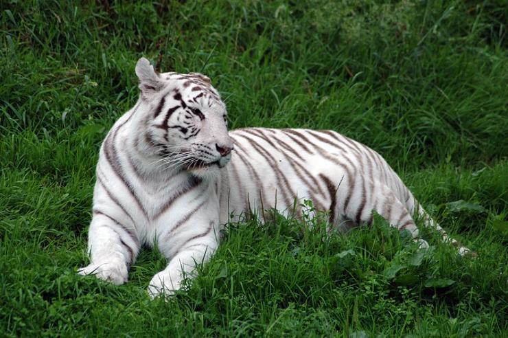 صوره اجمل صور نمور بيضاء