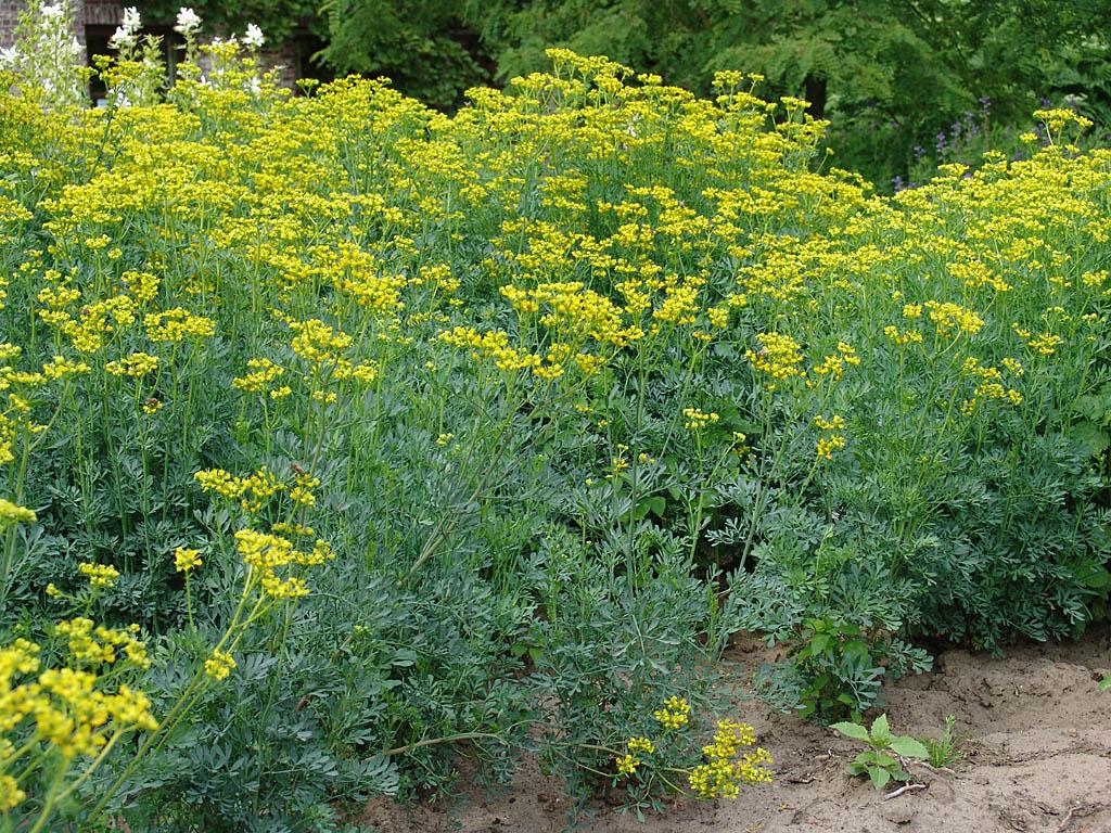 صوره فوائد نبات القشعة للحمل