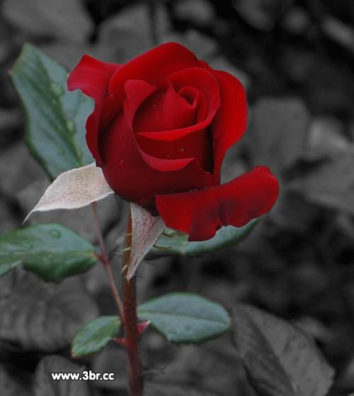 صوره احلى صور اهداء اجمل وردة