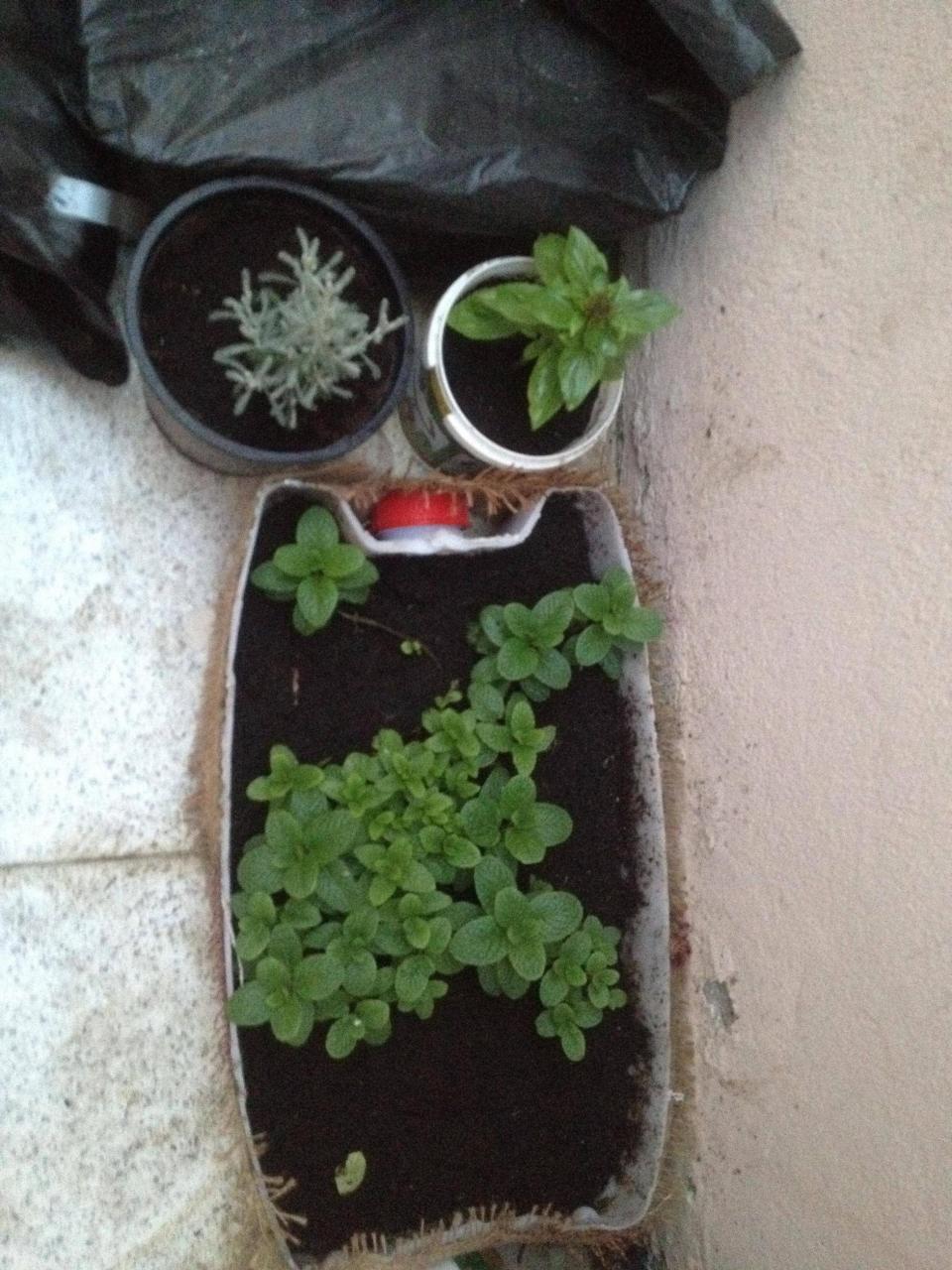 صوره زراعة النعناع في المنزل