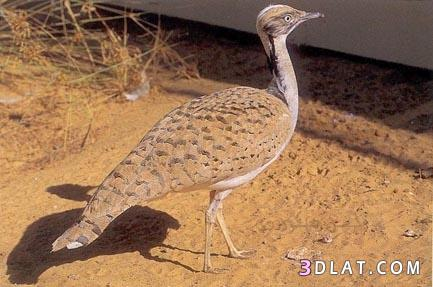 بالصور اسماء وصور الحيوانات الصحراوية 20160627 2249