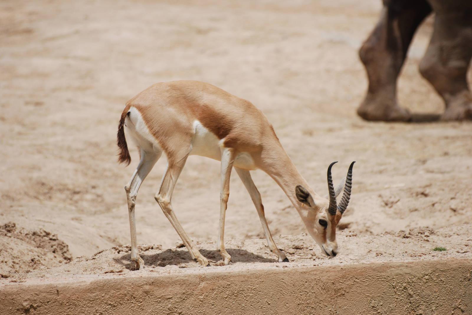 صوره اسماء وصور الحيوانات الصحراوية