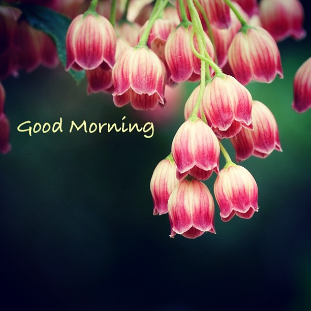 صباحِ الخير ورد  صور صباحِ الخير