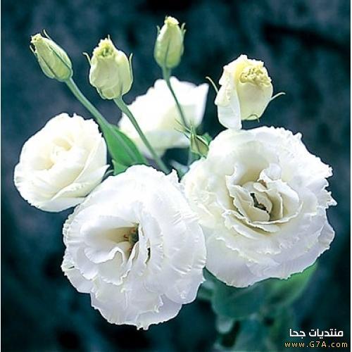 بالصور اجمل الورود البيضاء 2019 20160628 432