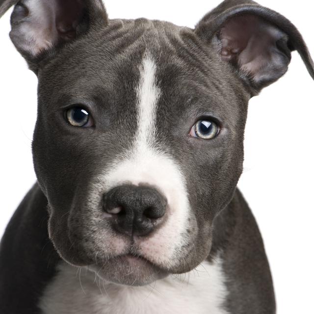 كلاب ألبيتبول لديهم راس مميزه  على شََكل مربع