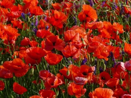 صوره معلومات عن زهرة الخشخاش