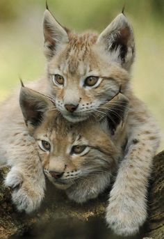 صوره صور قطط برية