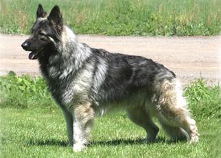 بالصور صور كلاب الماني معلومات عن كلب الراعى الالمانى 20160629 82