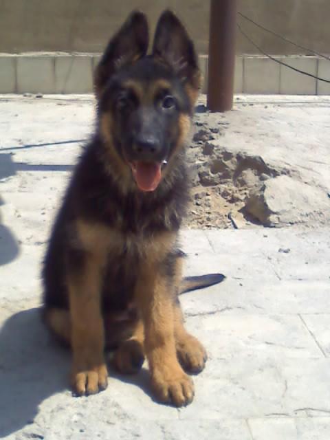 صوره صور كلاب الماني معلومات عن كلب الراعى الالمانى