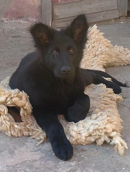 بالصور صور كلاب الماني معلومات عن كلب الراعى الالمانى 20160629 87