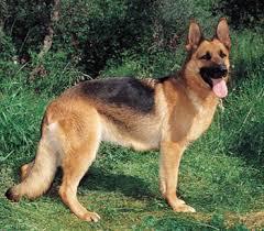 نتيجة بحث الصور عَن صور كلاب الماني