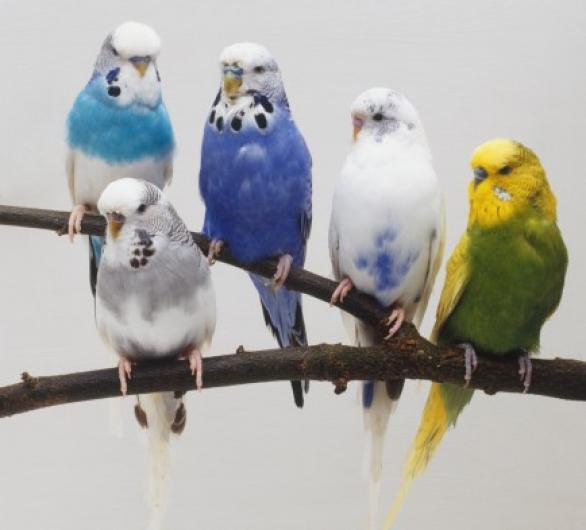 صوره صور عصافير بادجي