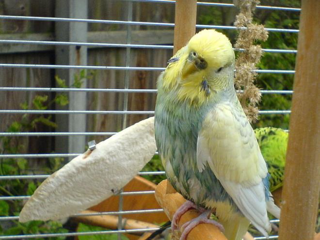 معلومات عَن طائر البادجي أحد اجمل الطيور فِي العالم