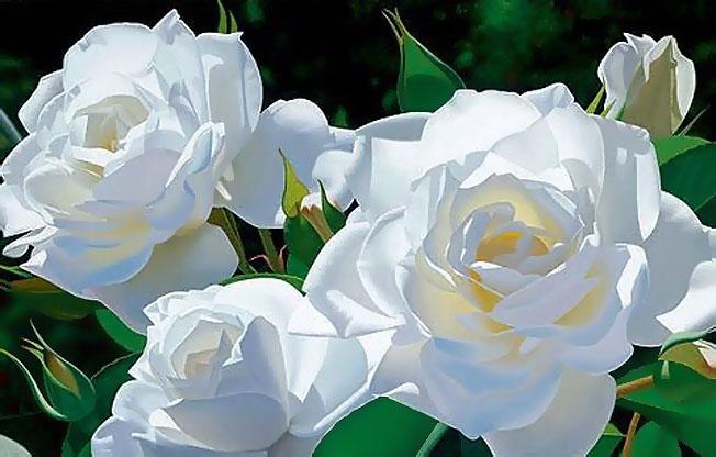 بالصور اجمل الورود البيضاء 2019 271613