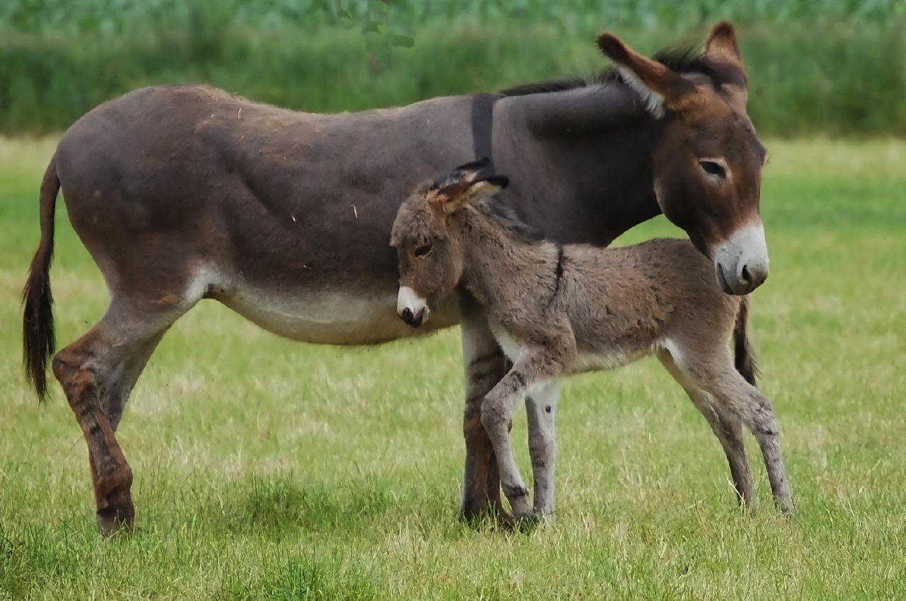 بالصور حيوان اماته الله donkey