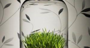 صوره طريقة تحضير عصير عشبة القمح