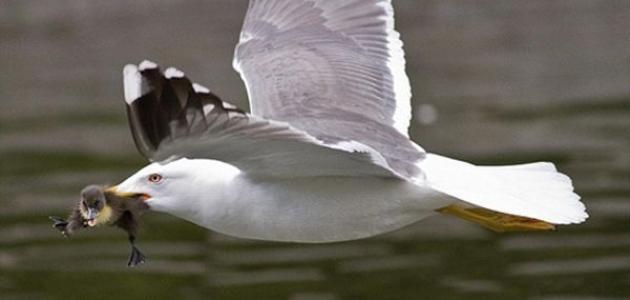 صور بحث عن طائر النورس