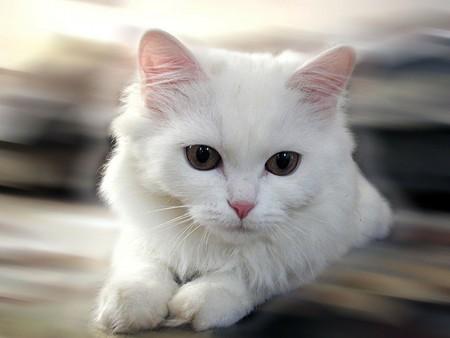 صوره اروع واجمل القطط بالصور