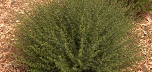 بالصور فوائد عشبة قطف واضرارها عشبة القطف و كيفية استعمالها