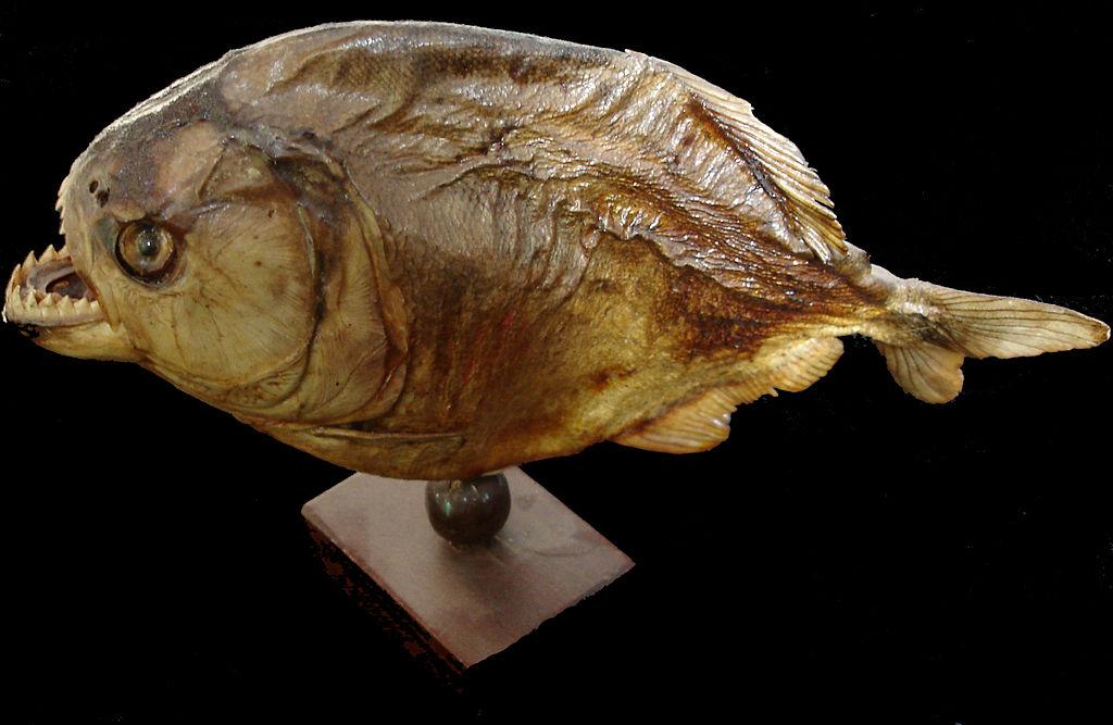 صوره معلومات عامة عن سمك البيرانا
