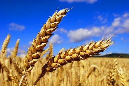 صوره القمح الكامل اضراره وفوائده