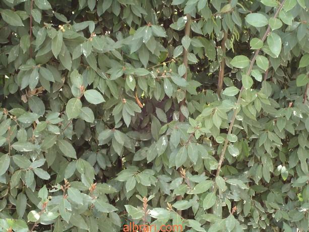 صوره معلومات عن شجرة الغار