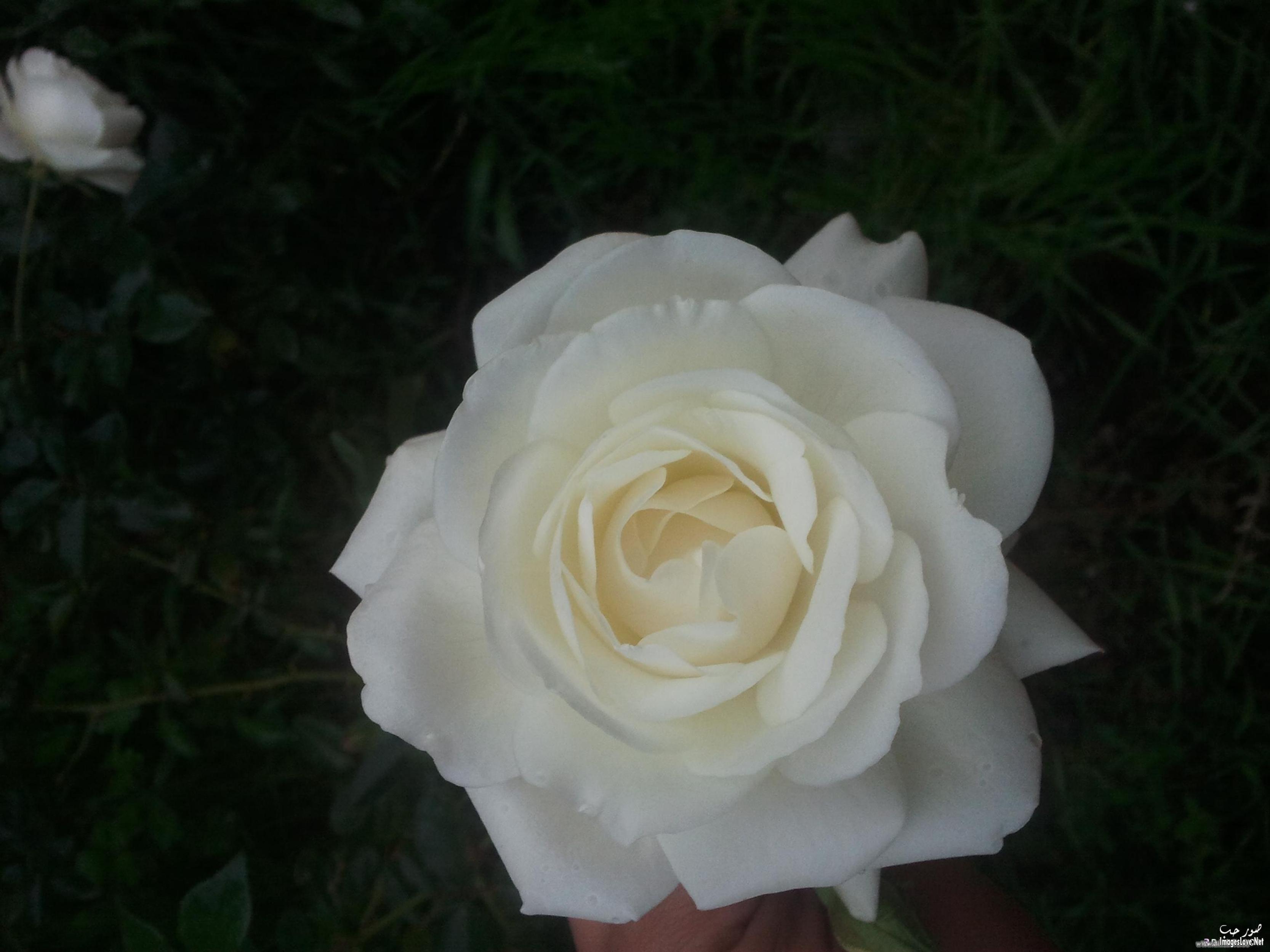 بالصور صورة زهور وورود بريه 20160701 2230