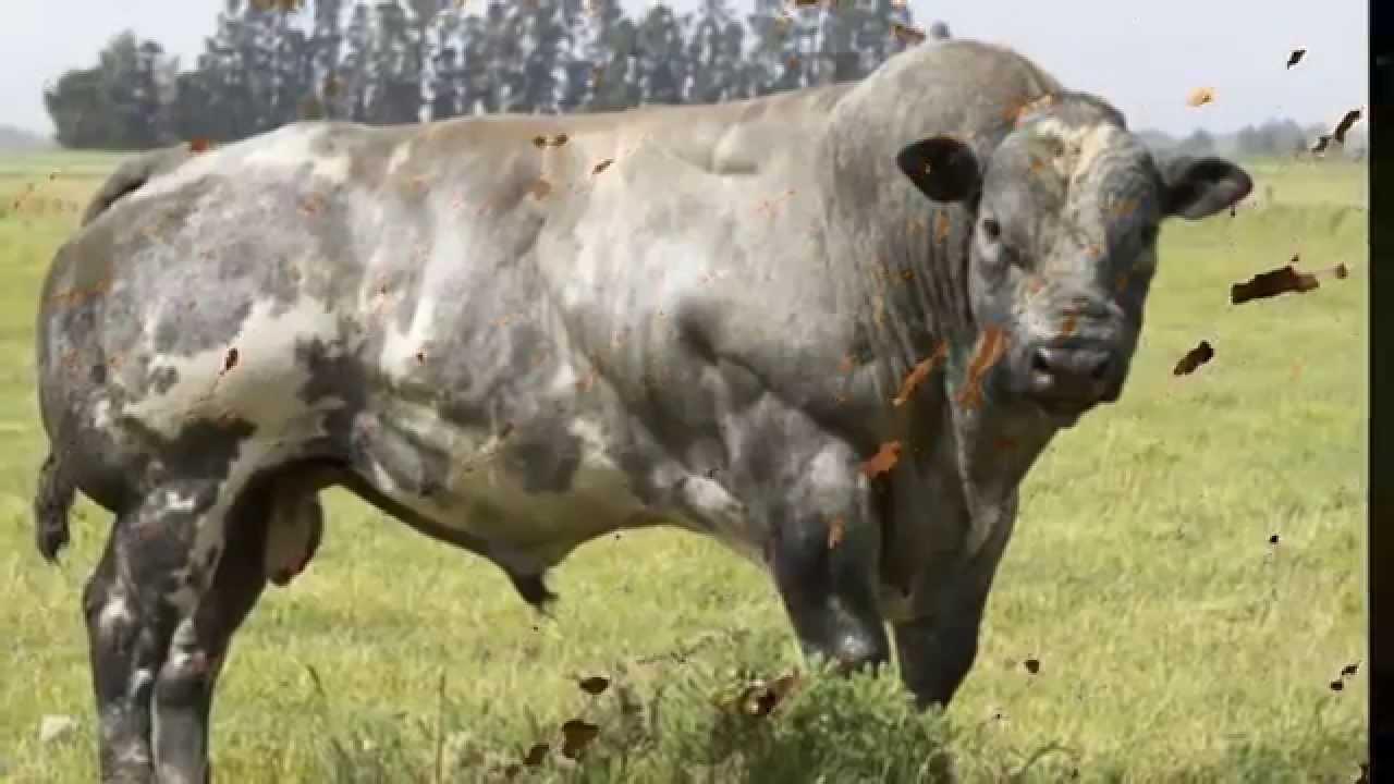 صوره تفسير البقر في الحلم