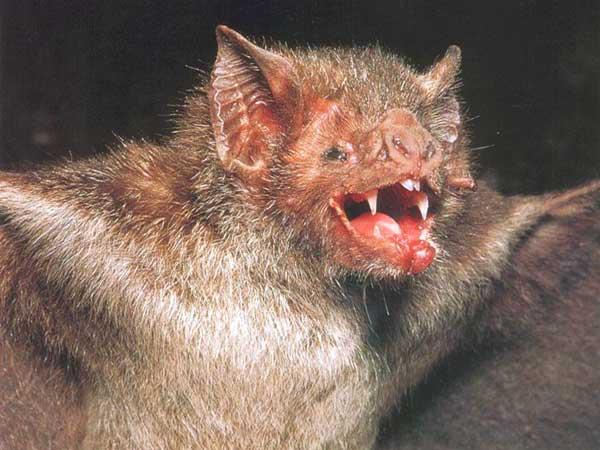 الخفاشَ مصاص الدماءَ مشعر الارجل