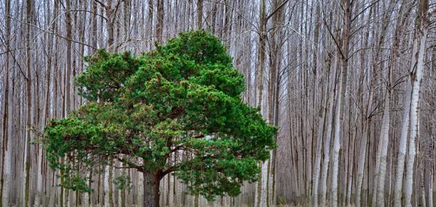 ما هِي شَجرة السدر