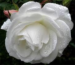 صوره الورد الابيض يدل على
