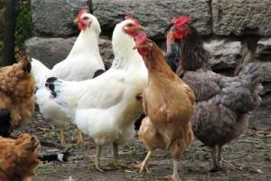 صوره تفسير رؤيه الدجاجه فى المنام