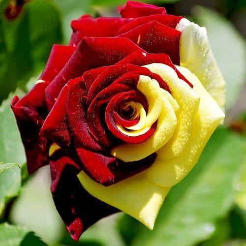 صور احلى الورود بالعالم