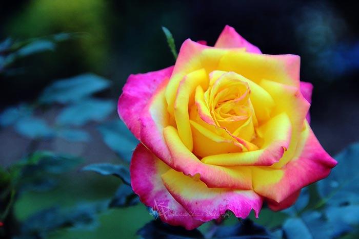 بالصور احلى الورود بالعالم 20160703 1501