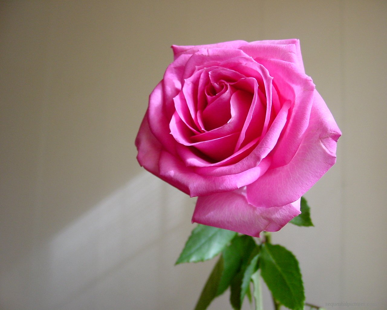 بالصور احلى الورود بالعالم 20160703 1506