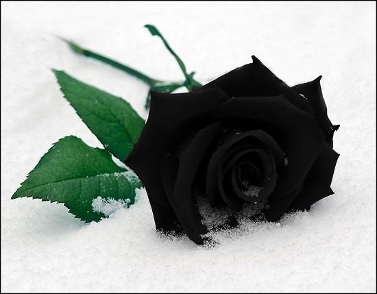 https://dorar.at/imup2/2014-07/black-rose-wallpaper.jpg