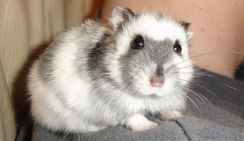 http://www.pets-clinic.net/wp-content/uploads/2015/10/cute-russian-white-dwarf-hamster-4.jpg