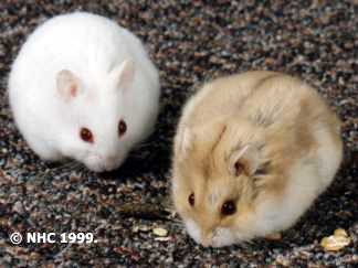 http://www.midlandhamsterclub.co.uk/hamster/images/argente.jpg