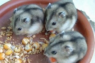 http://www.pets-clinic.net/wp-content/uploads/2015/10/russian-hamster-310x205.jpg