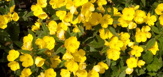صوره كبسولة زيت زهرة الربيع  المسائية معجزة الهية لا توصف