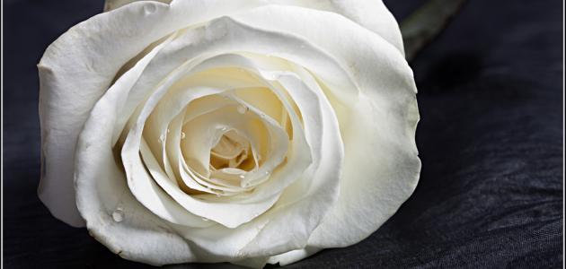 ما معني الوردة البيضاء