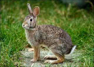 http://2.bp.blogspot.com/-wk1OH3FWi-U/UbTSJ2HLUBI/AAAAAAAAcfQ/VqFR9f9KON4/s1600/rabbit-picture.jpg