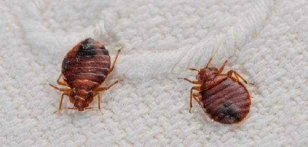 صوره علاج حشرة الكتان مكافحة بق الفراش في المنازل