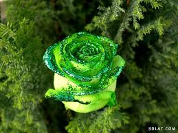 Image result for وردة رائعة الجمال