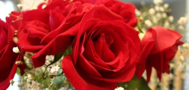 صوره كلمات عن الورد الاحمر