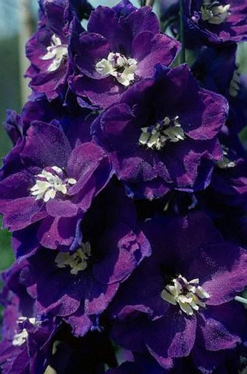 صوره زهور البنفسج واستخدامتها الطبية