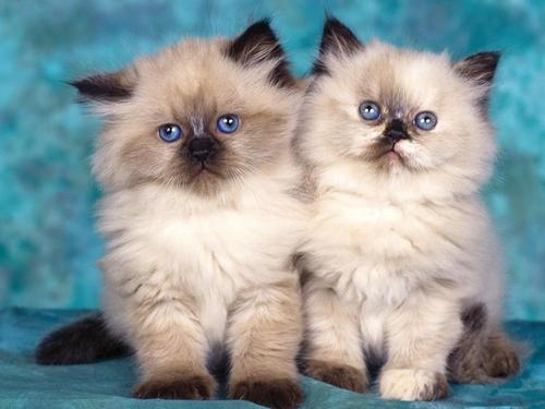 بالصور صور قطط جميلة كيوت 20160708 974