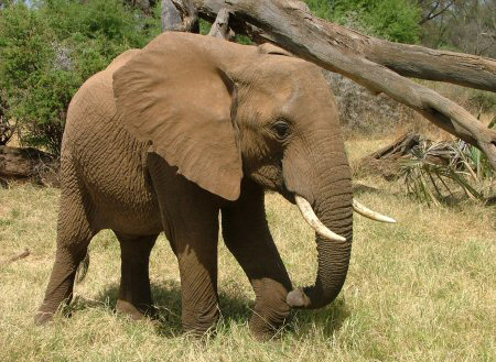 صورة تعريف حيوان الفيل بالفرنسية