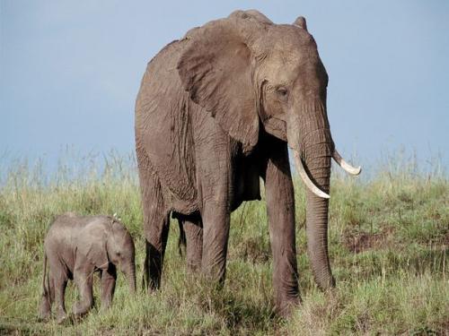 بالصور تعريف حيوان الفيل بالفرنسية 20160711 1366